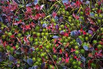Colorful autumn groundcover. von John Greim