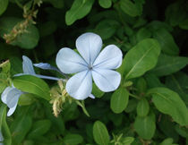 Light blue flower by Alkisti *