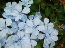 Beautiful cyan flowers blossoming in autumn by Alkisti *