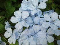 Blue flowers by Alkisti *