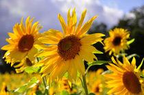 Sonnenblume von Jens Uhlenbusch