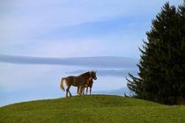Haflinger Pferde von blickpunkte