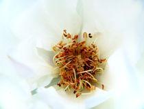 wild white rose by Fedor  Porshnev