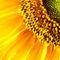 Sun-flower-small
