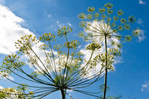 Dill ambrellas on blue sky. by Irina Moskalev