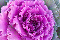 Purple ornamental cabbage von Irina Moskalev