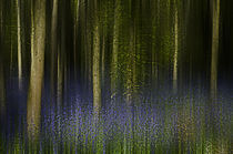 Bluebell Woods by Mal Smith