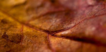 autumn leaf von Robby Bachorz
