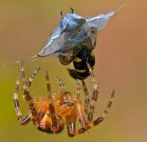 Spiders packed lunch. by mjparmy