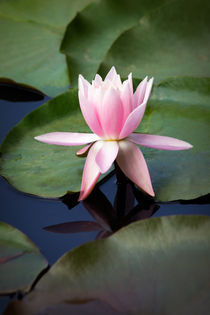 Pale Pink Water Lily by Susan Isakson