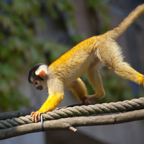 Squirrel Monkey 1 by safaribears