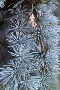 Tannenbaum von pichris