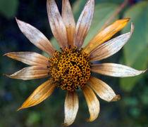 Vergänglichkeit,Herbst, Blüte,  von Simone Cuambe