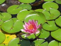 Lotusblüte von Baerbel Nitychoruk
