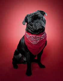 Pug on red. Part 2 by Nicolle Clemetson