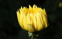 Yellow by Ramesh Sharma