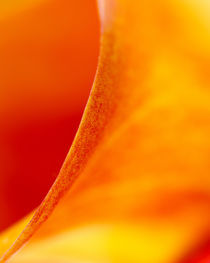 Red and Orange Calla Lily by Colin Miller