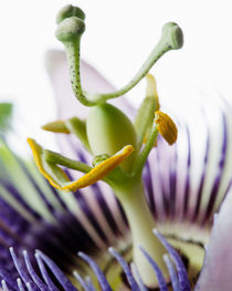 Passion Flower by Colin Miller