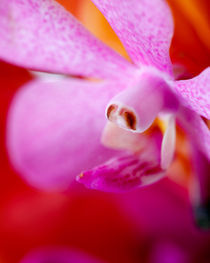 Vanda Orchid by Colin Miller