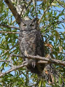 Great Horned Owl by S A