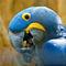 La20100805lj0151-foz-do-iguau-parque-das-aves-hyacinth-macaw-arara-azul-grande