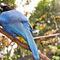 La20090526ls005-parque-das-aves-bird-park-gralha-azul-azure-jay