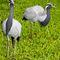 La20090526ls011-parque-das-aves-bird-park-grou-coroado-demoiselle-crane