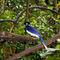 La20090526ls015-parque-das-aves-bird-park-gralha-picaa-plush-crested-jay
