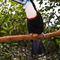La20090526ls027-parque-das-aves-bird-park-tucano-grande-de-papo-grande-white-throated-toucan