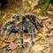 La20090526ls038-parque-das-aves-bird-park-tarntula-caranguejeira-rosa-brasileira-tarantula-salmon-pink-bird-eater-aranha-spider