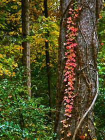 Autumn Red Vine by Deborah Willard