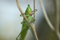 wet grasshopper von Alberto Prado