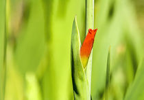 Gladiolus von degentd@gmail.com degentd@gmail.com