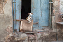 Dog in Havana, Cuba by Colin Miller