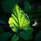 Leaf-diva