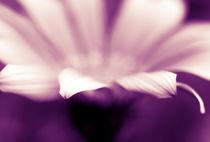 Violette Blüte by dresdner