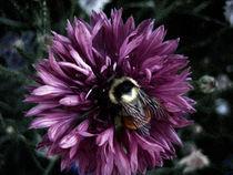 Bumblebee-on-pinkflower