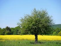 Baum im Rapsfeld by Thomas Brandt