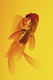 Yellow goldfish von Nicklas Wijkmark