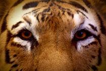 Tiger von volkan duran