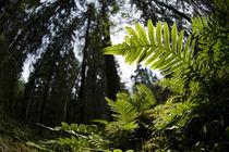 Ferns in deep forest von Nicklas Wijkmark