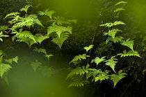 Ferns in the deep old-growt forest by Nicklas Wijkmark
