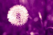 Löwenzahn violett by dresdner