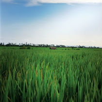 rice landscape von Vsevolod  Vlasenko