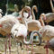 La20100805lj0257-foz-do-iguau-parque-das-aves-chilean-flamingos-chilenos