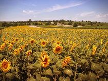 Sonnenblumen von Andreas Kaczmarek