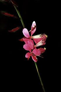 Schmetterlingsblume by blickpunkte