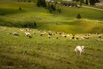 The Shepherd, Val Ferret, Wallis, CH by Almira Medaric