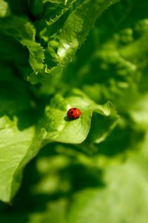 Red ladybug by grapunzel