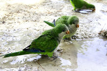 Parrot von Ciro Zeno